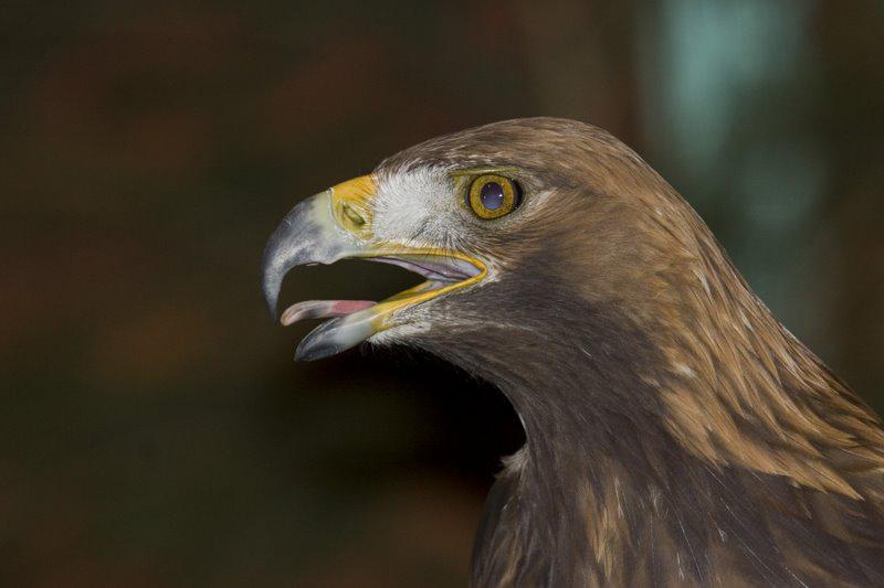1_golden_eagle_21